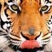 TigerJO